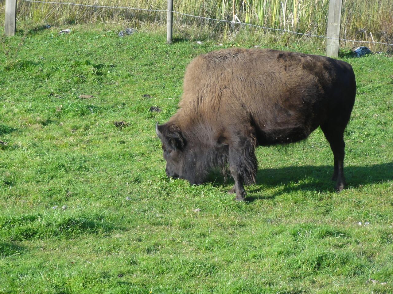 E Bison Fute 25 septembre: Juraparc